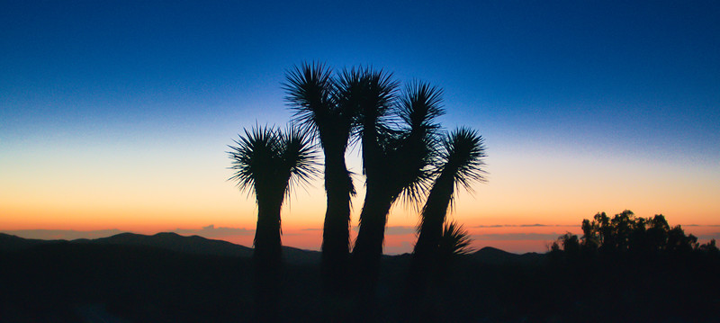 Joshua Trees Sunrise