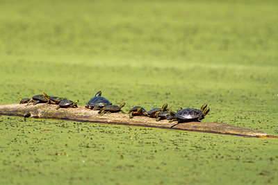 large group of painted turtles floating on a log in algae
