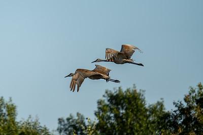 two sandhill cranes in flight over a prairie