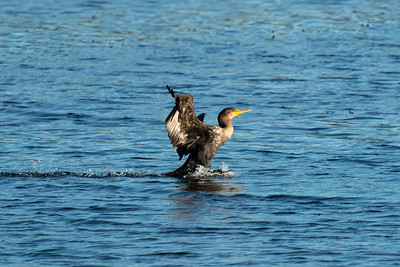 double-crested cormorant coming in for a landing on a lake