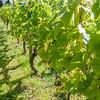 English vineyard.
