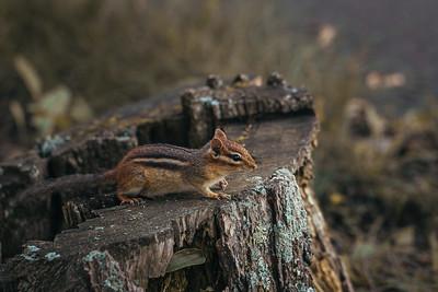Chipmunk Watching from a Stump