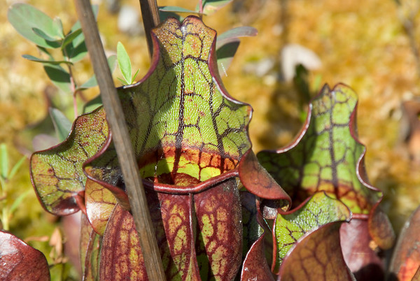 Pitcher Plant on edge of pond