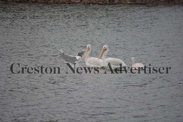 10-11 Pelicans
