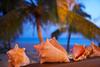 Shells,Beach,Antigua