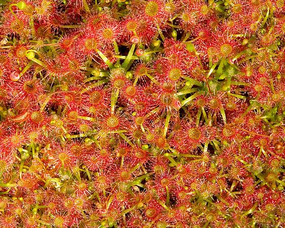 Sundews (Drosera nitidula subsp. omissa)