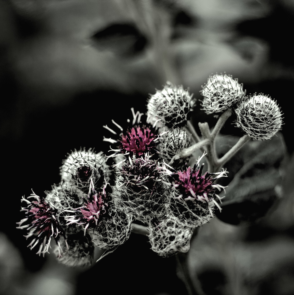 Sparking thistles