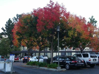 Palo Alto leaf peeping