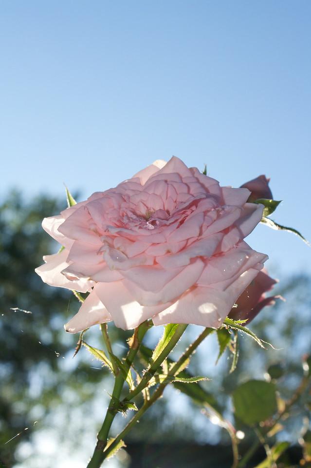 Rose against the light