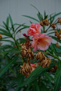 Vanitas in Rose