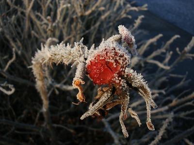 Frosty rosehip