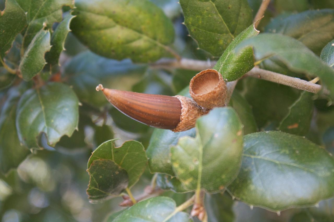 Cocky acorn