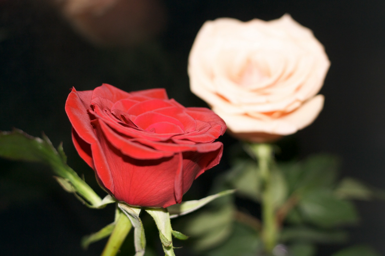 Roses in flash