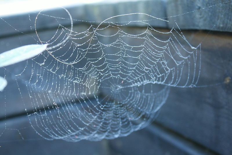 Droplets hanging in a spider's web