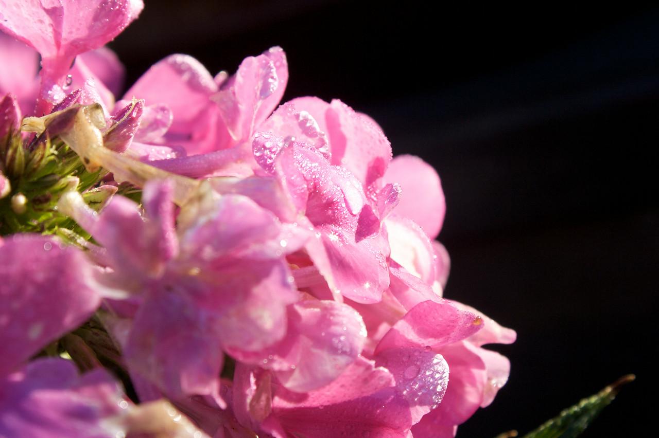 Droplets settling on petals