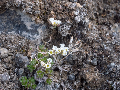 Lapland whitlow-grass or milky whitlow-grass