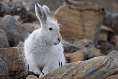 Arctic hare (Lepus arcticus), or polar rabbit,
