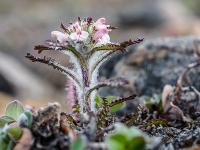 Pedicularis
