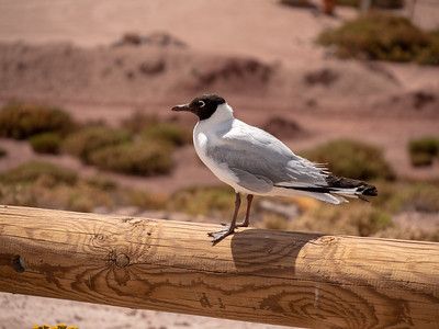 Brown-hooded gull