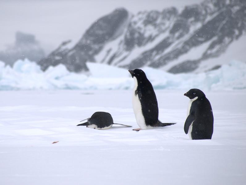Adele Penguins