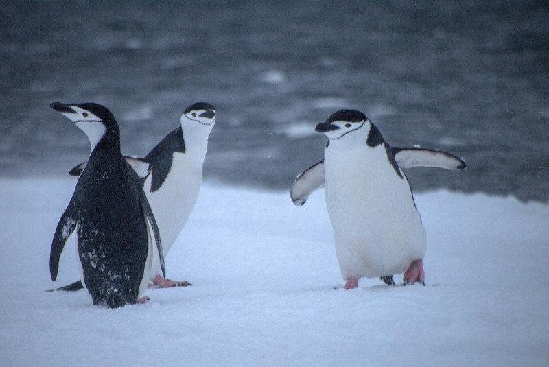 Chin Strap Penguins