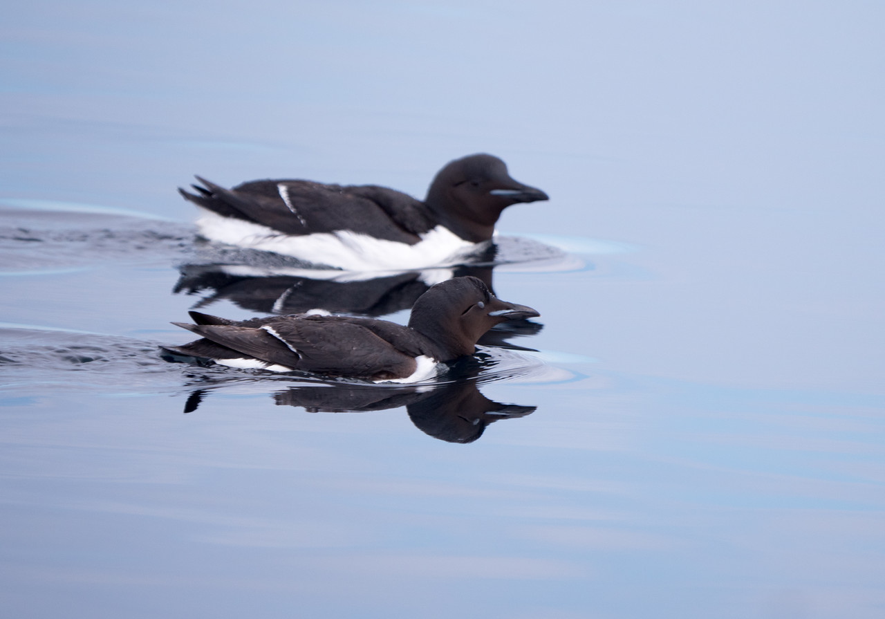 Common or Arctic Murre