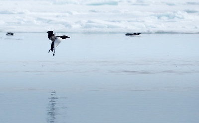 Common or Arctic Murre