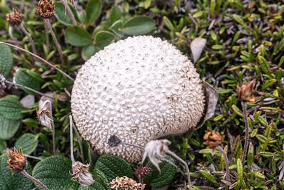 Artic Mushrooms