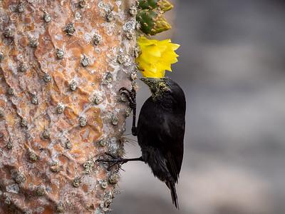 Cactus Finch