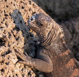 Marine Iguana Salt deposits on nostril