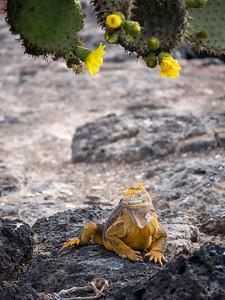 Land Iguana and Cactus