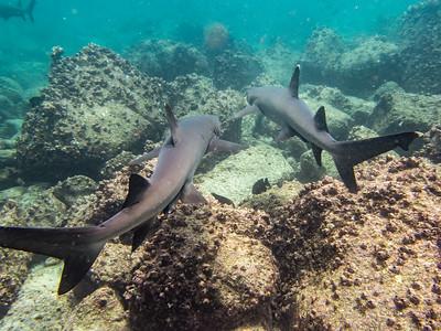 White-tip Shark