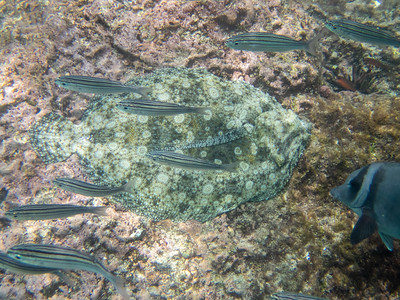 Flounder able to change color to campflague to its surroundings