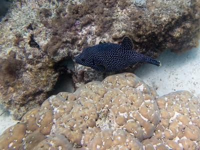 Galapagos Puffer