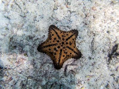 Chocalate Chip Sea Star