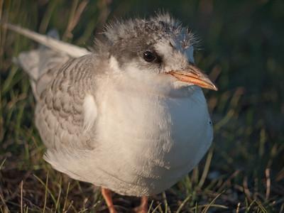 Juvenile Artic Tern