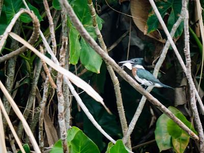 Ringed Kingerfisher