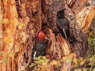 Magellanic woodpecker (Campephilus magellanicus)