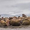 Walruses on Wahlbergova