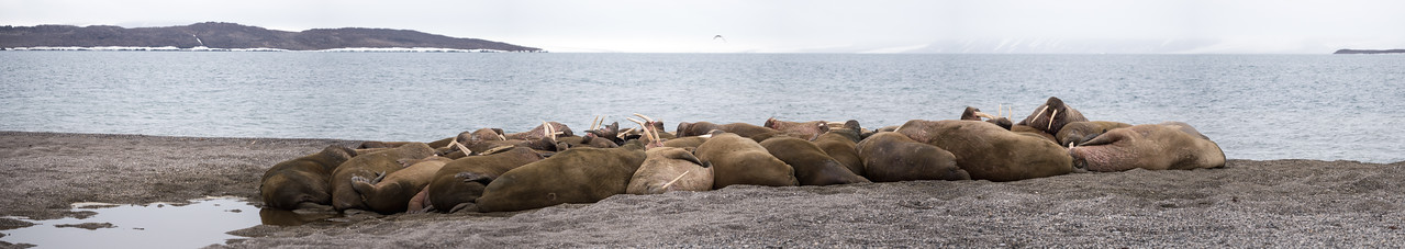 Walruses on Wahlbergova