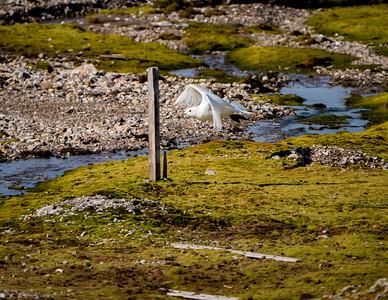 IVory Gull Pagophila eburnea