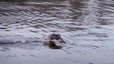 Northern fulmar (Fulmarus glacialis)