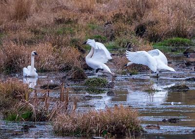 Trumpeter Swan And American Widgeon