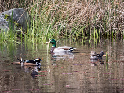 Mallard and Hooded Megensers