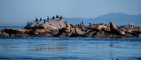 Sea Lions on Whale Rock
