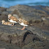 Sandpipers/Plovers