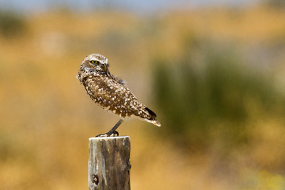 Burrowing Owl 5