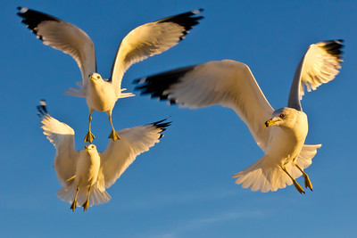 Three Amigos. Gulls captured in flight with the golden rays of sunset and reflection off the sand. 3 of 5.
