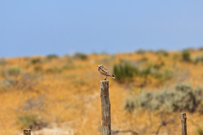 Burrowing Owl 4