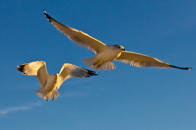 Gulls captured in flight with the golden rays of sunset and reflection off the sand. 2 of 5.